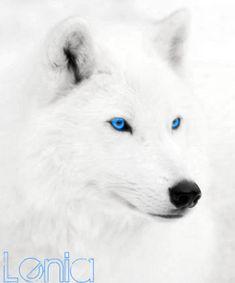 Lobo Blanco Ojos Azules