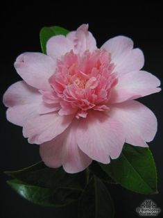 Camellia x williamsii 'Ballet Queen' (New Zealand, 1976)