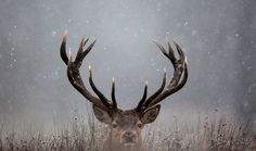 A deer lifts its head, sitting in the snow in Richmond Park in London, England. (Dan Kitwood/Getty Images)