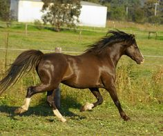 Australian pony - Side view