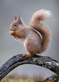 Appeal for volunteers to help save uk's last red squirrels - Tierbabys, Tierkinder, Wallpapers Tiere, Animals Wallpapers - Forest Animals, Nature Animals, Woodland Animals, Animals And Pets, Funny Animals, Tier Wallpaper, Animal Wallpaper, Squirrel Pictures, Animal Pictures
