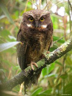 White-throated Screech Owl (Megascops albogularis) by Sebastián Berrío