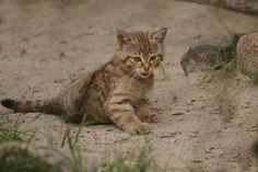 Die kleine Wildkatze besuchen wir auch immer wenn wir den Wildaprk Lünebugrer Heide unsicher machen!   Sie ist allerdings so agil und temperamentvoll das man schon Glück und Geduld haben muß um mal einen fotofreunlichen ruhigen Moment von ihr zu erwischen!   Foto vom 1.8.2011...da hatten wir Glück...    sie turnte grad schön am Boden rum und ärgerte mal nicht Mama oder ihre Geschwister aus dem letzten Jahr...   [fc-foto:25144925]