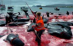Les habitants des Iles Féroé, une province autonome du Danemark, se livrent à la traditionnelle chasse à la baleine appelée «Grindadrap». Ils ont en effet l'autorisation de tuer et manger ces baleines qui constituent un élément central de leur régime alimentaire depuis plus de 1000 ans avec l'interdiction formelle d'en faire le commerce.