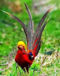 Faisan dorado... maravillosa ave!!!