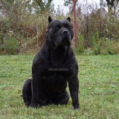 "4,676 Likes, 57 Comments - ‏ONLY GIANTS (@mastiff.breeds) on Instagram: ""Presa Canario"""
