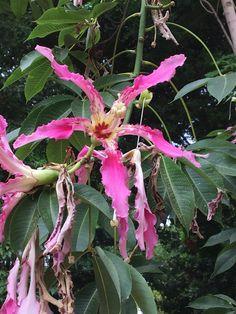 Ceiba speciosa Palo de borracho