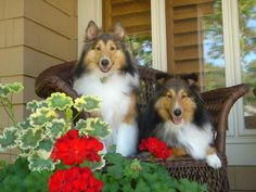 Shelties on the porch