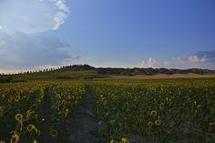 Summer in Leonina, Siena, Tuscany / July
