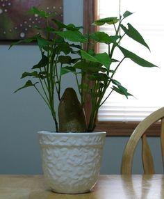 Sweet Potato Indoor Plant