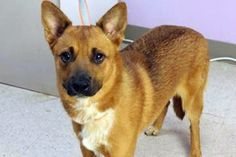 Buck: Gorgeous shep mix boy is out of time at high-kill upstate shelter