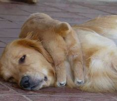 Golden Retrievers / Mama + Baby :)