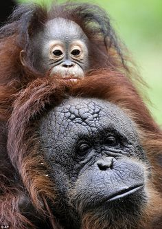orangutan with a troubled past: Baby ape rejected by birth mother finally finds a family with 'adopted' mom  By DAILY MAIL REPORTER