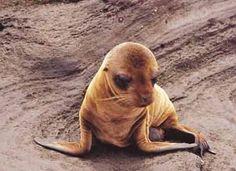 filhotes de leão marinho - Pesquisa do Google
