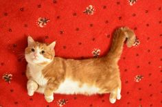 It's a Munchkin Cat!