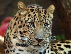 Amur Leopard jigsaw puzzle in Animals puzzles on TheJigsawPuzzles.com