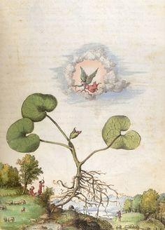 Asarum Europaeum from De Materia Medica, 16th century.