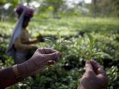 India's tea pickers working