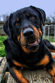 Nobel Rottweiler. In contrast to the stigma this breed brings, they are the best and sweetest family protector and pet.