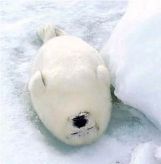 sleepy baby seal -- stop the Canadian harp seal hunt! Fat Animals, Cute Baby Animals, Animals And Pets, Funny Animals, Wild Animals, Baby Harp Seal, Baby Seal, Harp Seal Pup, Cute Creatures
