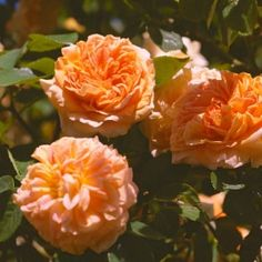 Alchymist, climbing and shade tolerant...which most roses aren't