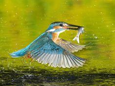 Kingfisher in Flight Romania - Photography
