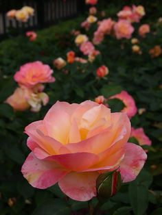 Rose 'Apricot Queen'   Hybrid Tea.   Bred by Frederick Huber Howard.  USA  1980. Mrs J D Eisele  x  Glowing sunset  [Kordes ]