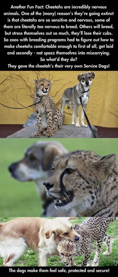 Cheetahs are incredibly nervous animals and get their own service dog to make them feel secure.
