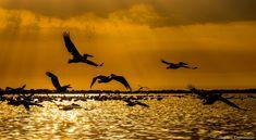 Pelicans at the Danube Delta, Romania by Bogdan Comanescu
