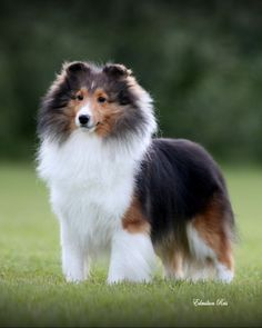 "Click visit site and Check out Best ""SHELTIE"" T-shirts. This website is excellent. Tip: You can search ""your name"" or ""your favorite shirts"" at search bar on the top. #shetlandsheepdog"