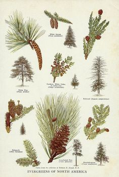 Vintage Evergreen Trees Pine Cones of North America Illustration Art - 1944 Botanical Book Plate - Spruce Pine Redwood Cedar Tree Wall Decor