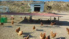 Granja de gallinas criadas en total libertad en Mutxamel, Alicante.