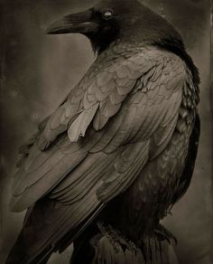 Art Photo Index - Ron Reeder Quoth The Raven, Raven Bird, Crow Bird, Escorpion Tattoo, Rabe Tattoo, Raven Photography, Raven Pictures, Blackbird Singing, Dark Wings