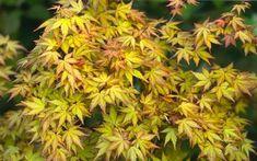 Acer palmatum 'Akane' AKANE JAPANESE MAPLE from Greenleaf Nursery