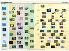 Zdjęcie Klasyfikacja organizmów - plansza (duża)