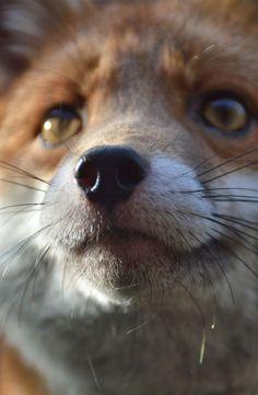 Pudding the Red Fox | National Fox Welfare Society красивые картинки,лиса Лисы, лисички, fox, foxes, рыжие, хитрые,
