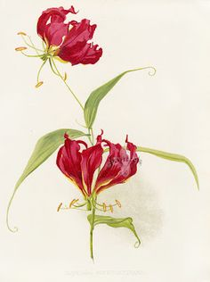 Gloriosa Rothschildiana. Henry Moon-one of my great-grandfather's paintings...