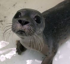 Baby seal says what do you mean I have to stop playing. Cute and uplifting animal pictures of the day at Sunny Skyz. Cute Creatures, Beautiful Creatures, Animals Beautiful, Seal Pup, Baby Seal, Seal Seal, Cute Baby Animals, Animals And Pets, Funny Animals