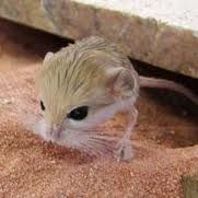 I am crying over how much i want to be a jerboa.