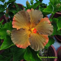 Taiwan Hibiscus - Linda Lee Blue Hibiscus, Hibiscus Flowers, Taiwan, Exotic, Tropical, Plants, Plant, Planets