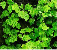 Ficus thunbergii (Oak Leaf Creeping Fig)-Oak Leaf Creeping Fig - Previously sold under the name Ficus pumila var. Similar in growth habit Ficus Pumila, Topiary Plants, Terrarium Plants, Exotic Plants, Tropical Plants, Plants For Sale Online, Paludarium, Vivarium, Small Gardens