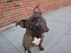 TO BE KILLED My name is WOODSTOCK. My Animal ID # is A1097574. I am a male br brindle and white am pit bull ter mix. The shelter thinks I am about 2 YEARS old. I came in the shelter as a STRAY on 11/21/2016 from NY 11224, owner surrender reason stated was STRAY.