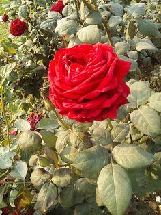 Rose, Flowers, Plants, Photography, Pink, Photograph, Fotografie, Photoshoot, Plant