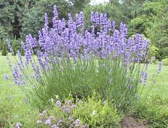 Lavender is among the most favorite of full sun perennials and belongs in every . Lavender is amon Lavender Blue, Lavender Flowers, Lavendar Oil, Spanish Lavender, Lavender Plants, Lavender Seeds, Lavender Garden, Lavender Benefits, Growing Lavender