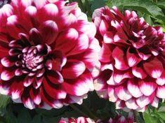 """Rothsay Reveller 4"""" bloom."""