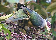 Red-Eared Fruit Dove - Ptilinopus fischeri - Tropical or subtropical moist montane forests of Indonesia are the natural habitats of this pigeon of the family Columbidae - Image : © Pete Morris / September 1, 2004