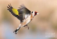 http://images.fineartamerica.com/images-medium-large-5/1--goldfinch-in-flight-margaret-s-sweeny.jpg