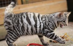 Another gorgeous Silver Toyger from Queenannecats.co.uk   Absolutely stunning tiger stripe pattern in black and white.