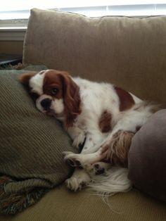 CKCS Freddy Snug as a bug in a rug taking a Sunday afternoon nap!