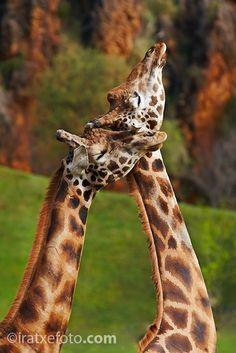 Giraffes in Cabarceno Wildlife Park in Spain Big Animals, Unique Animals, Spiritual Animal, Greatest Mysteries, Wildlife Park, Camels, Forever Love, Animal Photography, Giraffes